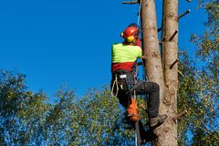 Arborist at work. Lumberjack with saw and harness climbing a tree Stock Photo
