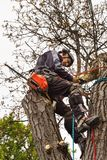 Lumberjack with saw and harness pruning a tree. Arborist work on old walnut tree. Lumberjack with saw and harness pruning a tree. Arborist work on old walnut Stock Photography