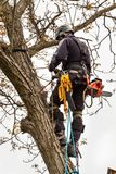 Lumberjack with saw and harness pruning a tree. Arborist work on old walnut tree. Lumberjack with saw and harness pruning a tree. Arborist work on old walnut Royalty Free Stock Photography