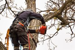 Lumberjack with saw and harness pruning a tree. Arborist work on old walnut tree. stock photography