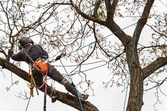 Lumberjack with saw and harness pruning a tree. Arborist work on old walnut tree. stock photos