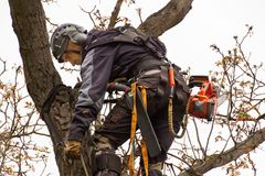 Lumberjack with saw and harness pruning a tree. Arborist work on old walnut tree. Royalty Free Stock Images