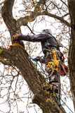 Lumberjack with saw and harness pruning a tree. Arborist work on old walnut tree. stock images