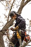 Lumberjack with saw and harness pruning a tree. Arborist work on old walnut tree. stock photo