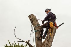 Lumberjack with saw and harness pruning a tree. Arborist work on old walnut tree. royalty free stock photography