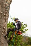Lumberjack with saw and harness pruning a tree. Arborist work on old walnut tree. royalty free stock photo