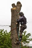 Lumberjack with saw and harness pruning a tree. Arborist work on old walnut tree. Lumberjack with saw and harness pruning a tree. Arborist work on old walnut Royalty Free Stock Image