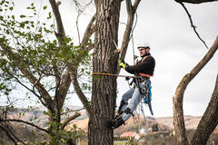 Lumberjack with saw and harness pruning a tree. Lumberjack with a saw and harness for pruning a tree. A tree surgeon, arborist climbing a tree in order to Stock Photo