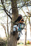 Lumberjack with saw and harness pruning a tree. Lumberjack with a saw and harness for pruning a tree. A tree surgeon, arborist climbing a tree in order to Stock Photos