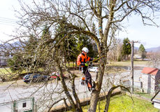 Lumberjack with saw and harness pruning a tree. Lumberjack with a saw and harness for pruning a tree. A tree surgeon, arborist climbing a tree in order to Royalty Free Stock Photography