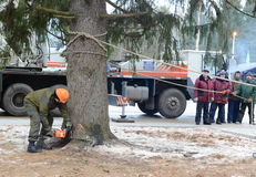 Lumberjack sawing a huge tree for installation in the Kremlin. Royalty Free Stock Photography