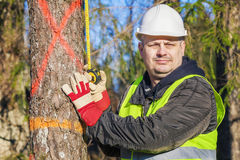 Lumberjack with a tape measure near the spruce Stock Photos