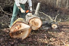 Lumberjack using chainsaw cutting big tree during the autumn. In forest Royalty Free Stock Photo