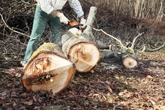 Lumberjack using chainsaw cutting big tree during the autumn. In forest Royalty Free Stock Image