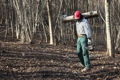 Lumberjack woodcutter with chainsaw carrying logs of big tree in. The autumn forest Stock Photo