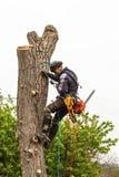 Lumberjack z przycina drzewa zobaczył i nicielnica Arborist praca na starym orzecha włoskiego drzewie fotografia stock