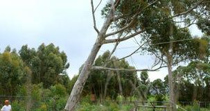 Lumberjacks ciie w dół drzewa w lesie 4k zbiory