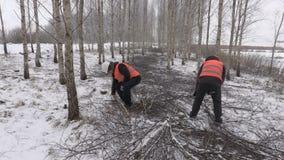 Lumberjacks pracuje w brzoza gaju zbiory wideo