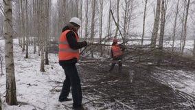 Lumberjacks sortuje gałąź w brzoza gaju zbiory