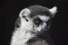 Lemur. Grey lumer male stock photography