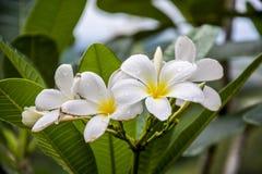 Lumeria-Badekurort-Blume Hintergründe, Tautropfen auf Blumenhintergrund Stockfotografie