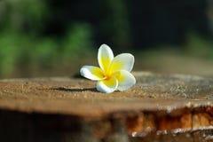 Lumeria kwiaty są fragrant przy nocą wabić sfinksów ćma zapylać one po to, aby zdjęcie royalty free
