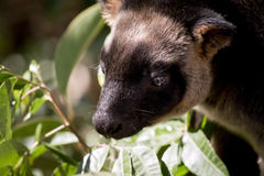 Lumholtz Tree-kangaroo Stock Image