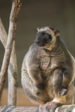 Lumholtz Tree-kangaroo Stock Photography