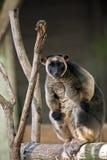 Lumholtz Tree-kangaroo Stock Photos