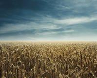 Lumière arrière de champ de maïs Photographie stock libre de droits