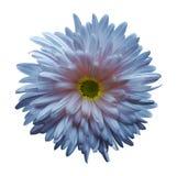 Lumière - bleu - fleur rose d'aster d'isolement sur le fond blanc avec le chemin de coupure Plan rapproché aucune ombres Photo libre de droits