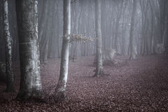 Lumière bleue dans le brouillard de la forêt Photos stock