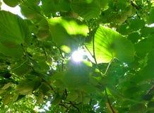 Lumière brillant par les feuilles Photo stock