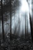 Lumière brumeuse de gris de lumière du soleil de forêt images libres de droits