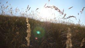 Lumière chaude du soleil d'été brillant par le champ d'herbe sauvage Fermez-vous des fleurs de champ d'herbe à la lumière de couc banque de vidéos