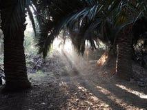 Lumière coloniale tropicale des palmiers dans l'aube avec la lumière apparaissant avec la végétation verte luxuriante de forêt tr photo stock