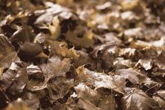 Lumière d'après-midi d'Autumn Leaves In Golden Late photographie stock libre de droits