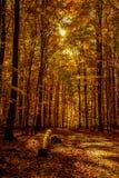 Lumière d'octobre d'or dans la forêt Image libre de droits