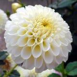 Lumière dans la fleur blanche Images stock