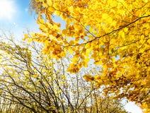 Lumière de chute dans les branches d'arbre avec les feuilles jaunes colorées Photographie stock libre de droits