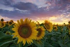 Lumière de coucher du soleil et gisement chauds de tournesol Photographie stock