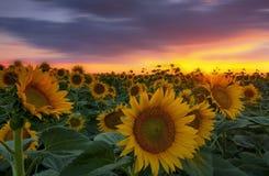 Lumière de coucher du soleil et gisement chauds de tournesol Photo stock