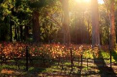 Lumière de matin dans les vignobles Images libres de droits