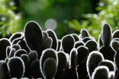 Lumière de RIM autour de cactus Images stock