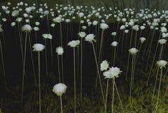 Lumière de Rose en Corée Image stock