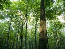 Lumière de Sun dans le bosquet de forêt Image libre de droits