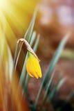 Lumière du soleil au-dessus de fleur fragile de narcisse Image libre de droits