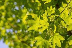Lumière du soleil brillant par des feuilles de vert d'érable Photo stock