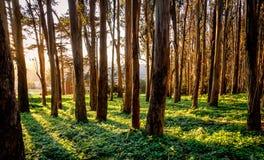 Lumière du soleil brillant par des troncs d'arbre photos stock