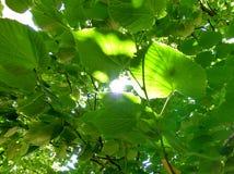 Lumière du soleil brillant par les feuilles Image stock
